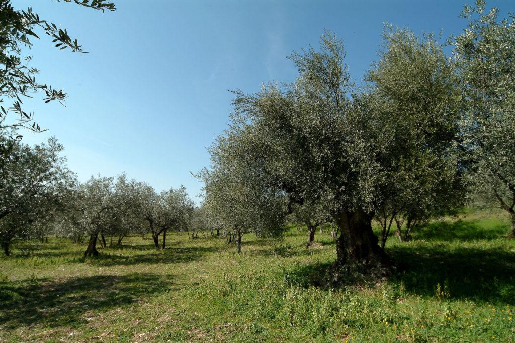 Tili Vini Assisi - oliveto con olivo millenario