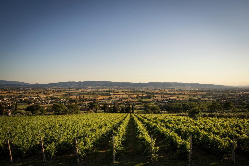 Tili Vini Assisi - vigneto cannella