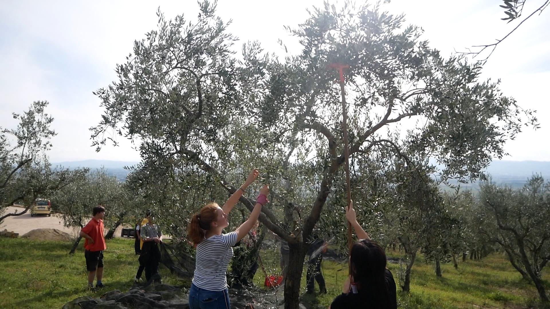 Esperienza sensoriale Assisi Tili Vini - Raccogliamo le olive insieme 11