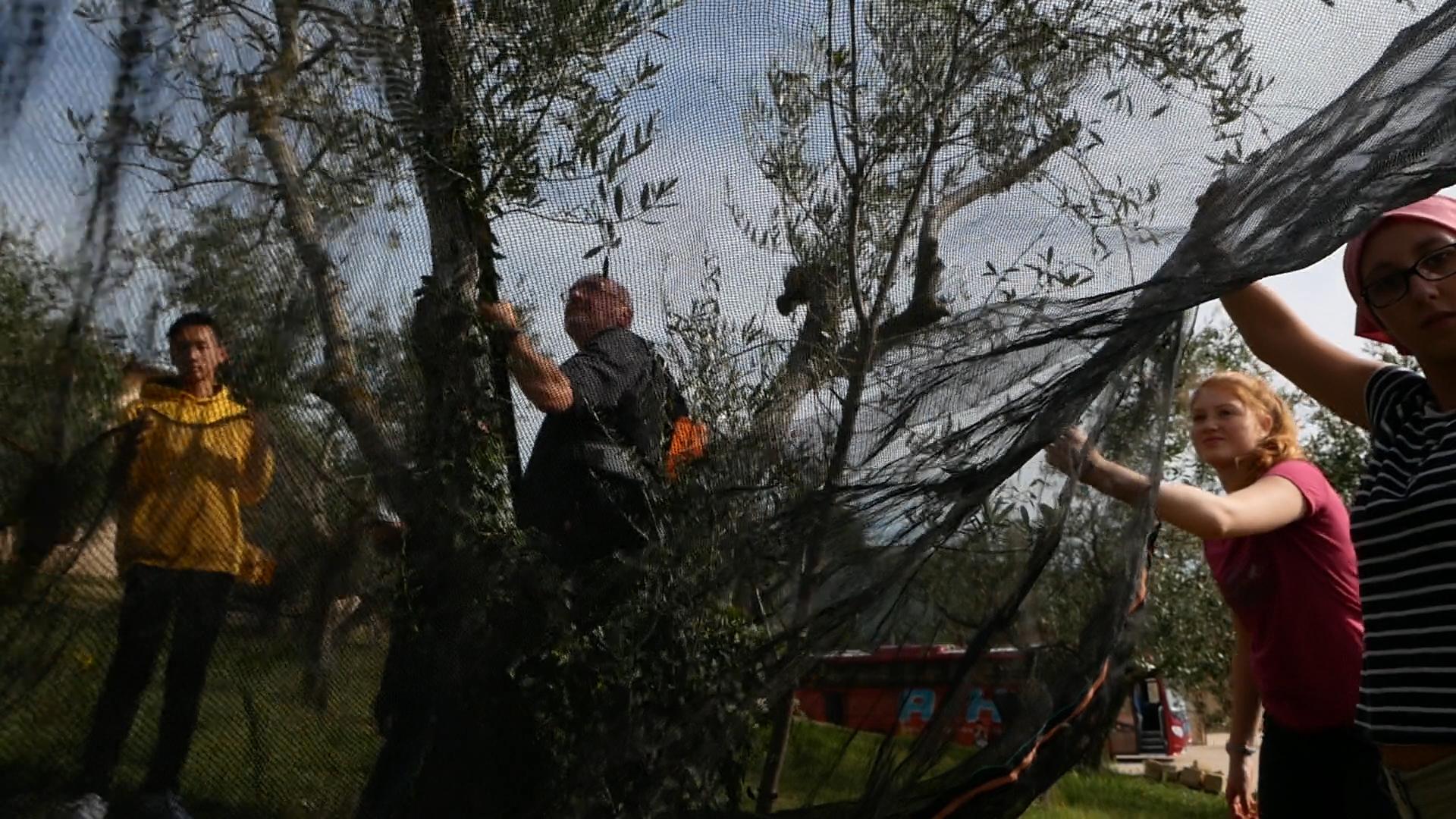 Esperienza sensoriale Assisi Tili Vini - Raccogliamo le olive insieme 3