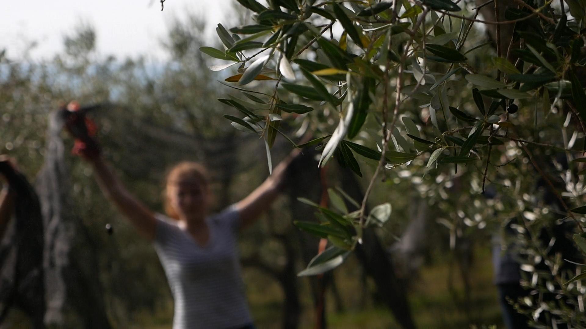 Esperienza sensoriale Assisi Tili Vini - Raccogliamo le olive insieme 7