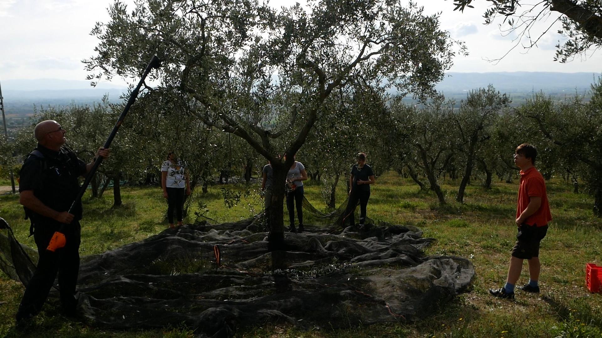 Esperienza sensoriale Assisi Tili Vini - Raccogliamo le olive insieme 8