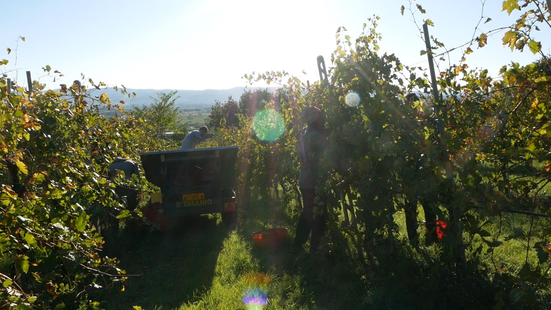 Esperienza sensoriale Assisi Tili Vini - Vendemmiamo insieme 2