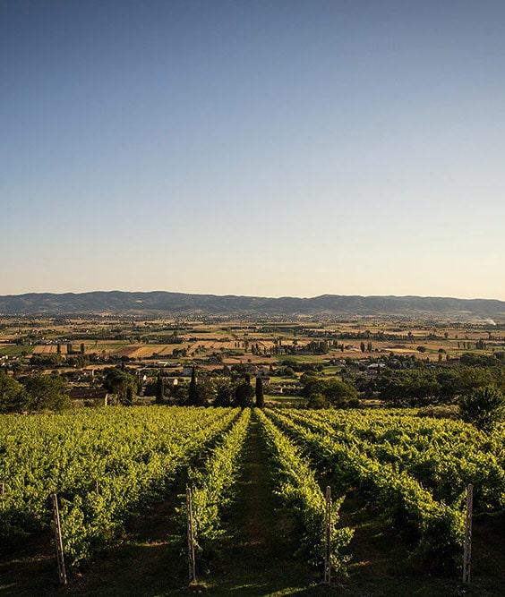 Tili-Vini-Assisi-La-Vigna-Scorcio-min